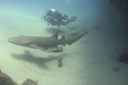 Captain Dave Swims with a Nurse Shark