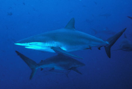 Silky Shark photo courtesy of Diver Joe Poe