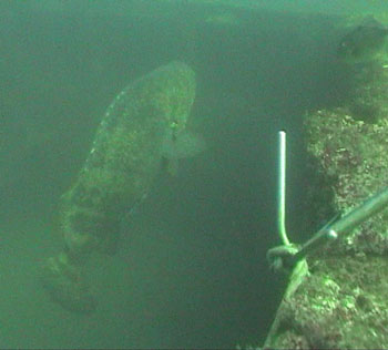 6 to 7' long Jewfish seen at the Liberator (DiveHatteras photo)