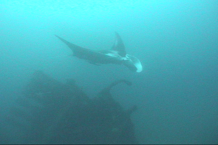 Large Atlantic Manta swims over the stern of the Australia.  DiveHatteras photo