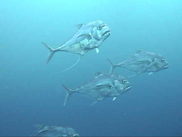 The tasty African Pompano swim close by - Dive Hatteras photo