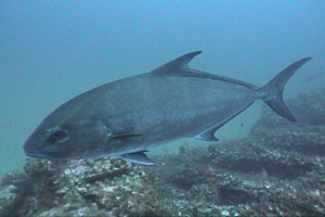 Large Jack at a Tarpon Cleaning Station. Dive Hatteras Photo